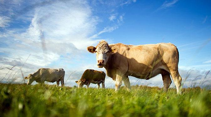 Pengembang Biakan sapi